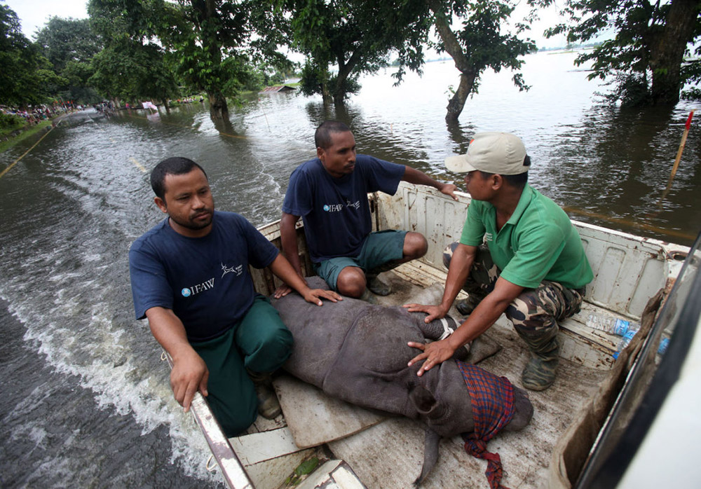 An infant rhino calf struggling in the flood water was rescued from Sildubi area of Bagori forest range of Kaziranga by IFAW-WTI wildlife rescuers and Kaziranga forest staff with the help of local villagers and on July 27, 2016. Photo credit: Subhamoy Bhattacharjee / IFAW-WTI.