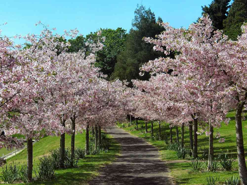 An avenue of cherry blossoms. Photo credit: janeb13/Pixabay [Pixabay License].