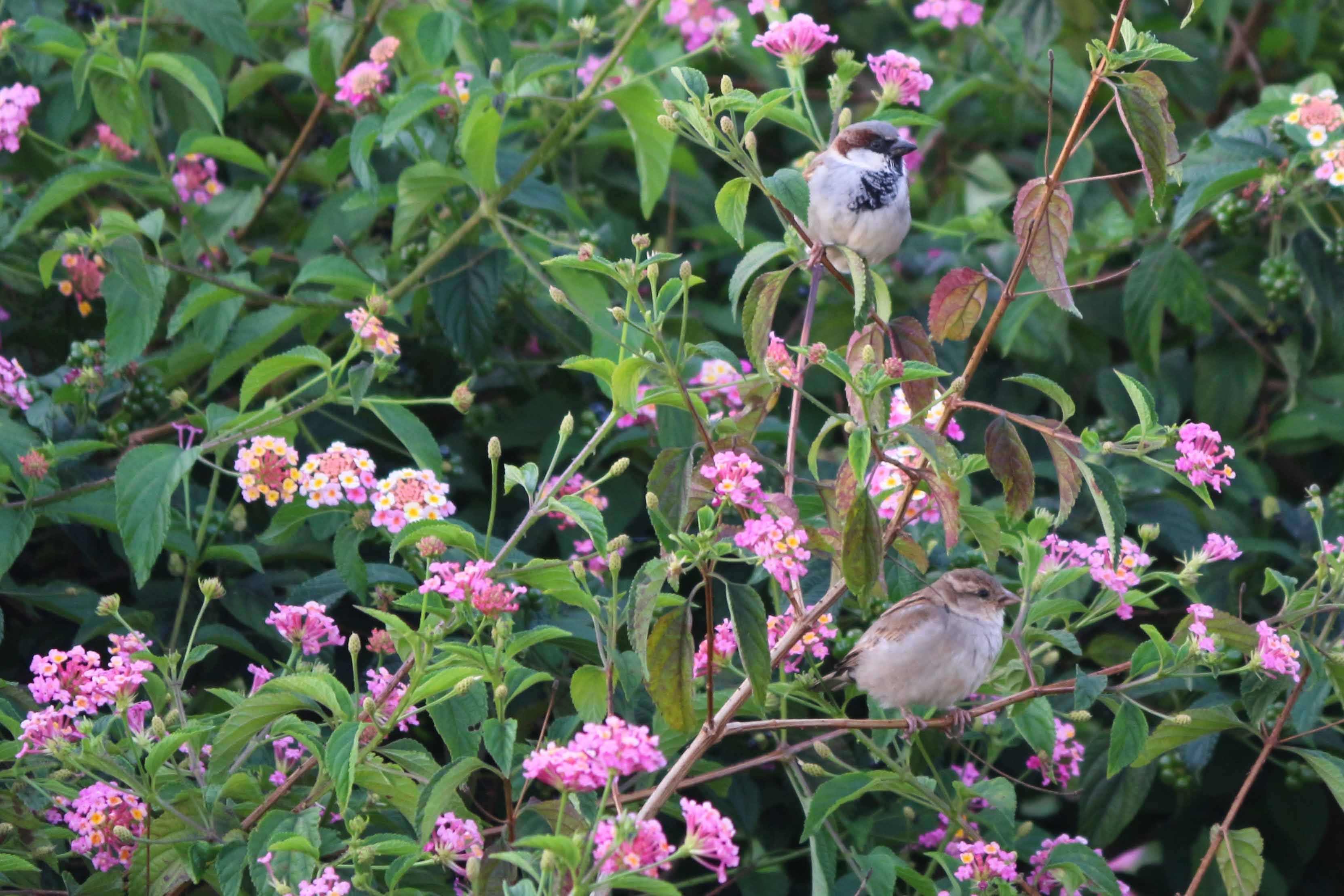 Birds perch on Lantana camara near Kotagiri, Nilgiris. The plants, with their pretty blooms, were earlier used to adorn gardens.  Photo credit: Anita Buragohain