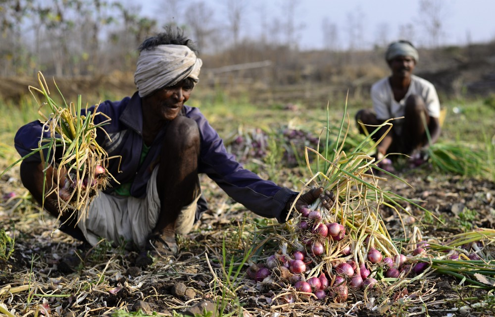 Another Khari farmer Tarachand (in background) and his father collect onion from their field.