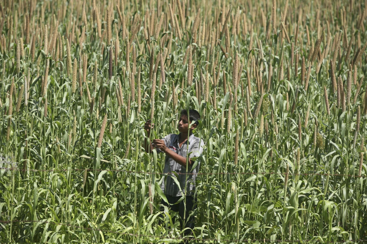 A farmer works in his millet farm in Kanati village, near Ahmedabad. (Photo credit: Amit Dave/Reuters).