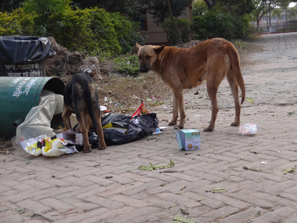 Street dogs scavenging food waste in India. Photo credit: Achat1234/Wikimedia Images [Licensed under Creative Commons by 4.0]