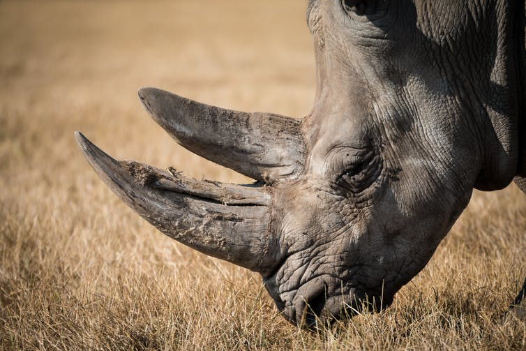 A White Rhino from southern Africa. Photo Credit: Via Pixabay