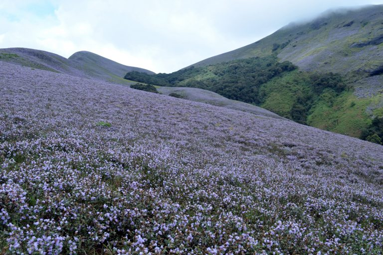 The kurinji bloom in the shola-grassland ecosystem in 2014. Photo Credit: Prasad Ambattu