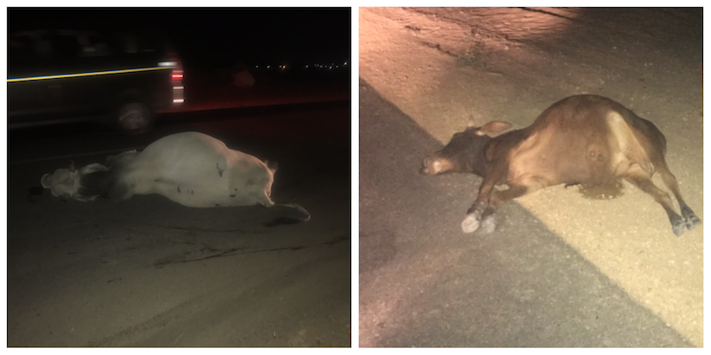 सड़क दुर्घटना में मारी गई गायें   जैसलमेर
