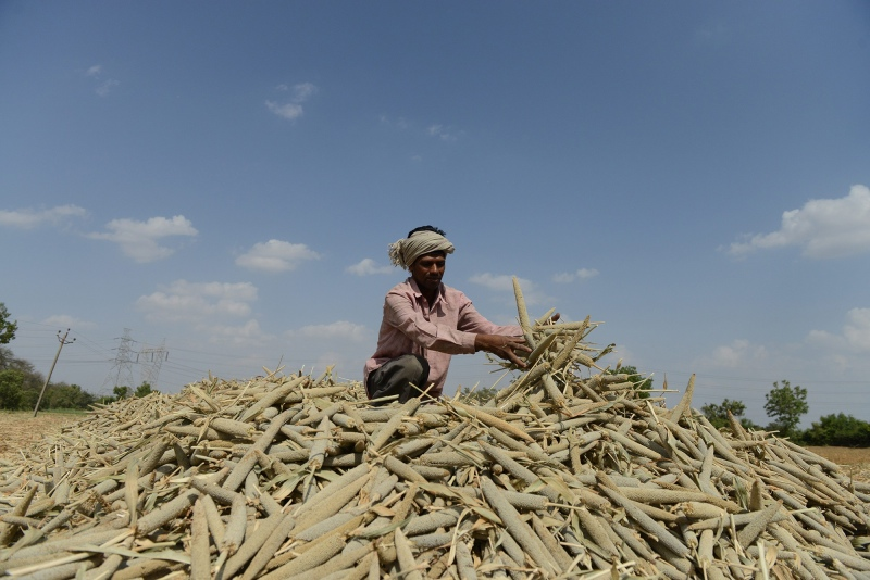 A labourer piles millet in a field at Palaiya village near Ahmedabad in 2013. (Photo credit: Sam Panthaky/AFP).