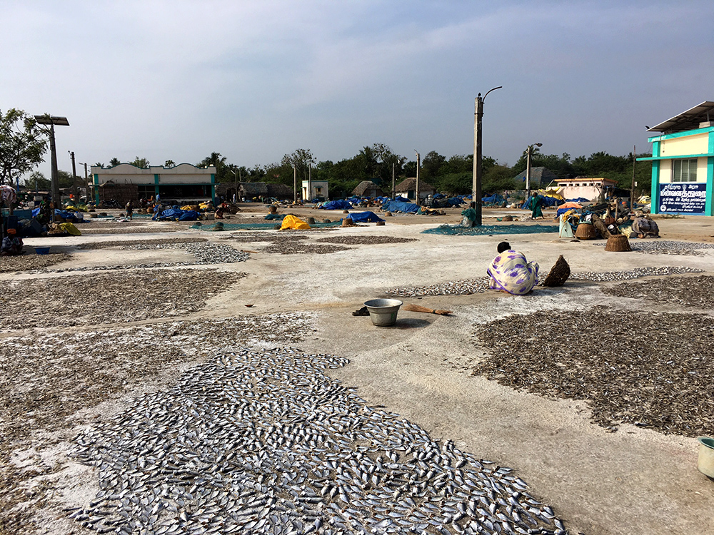Small fish drying near Pichavaram. India's boom in poultry has triggered a boom for small fish which are dried and processed into chicken feed. The boom in this market has kept fishing economically viable -- and is a major contributing factor for dwindling species being pushed towards extinction.