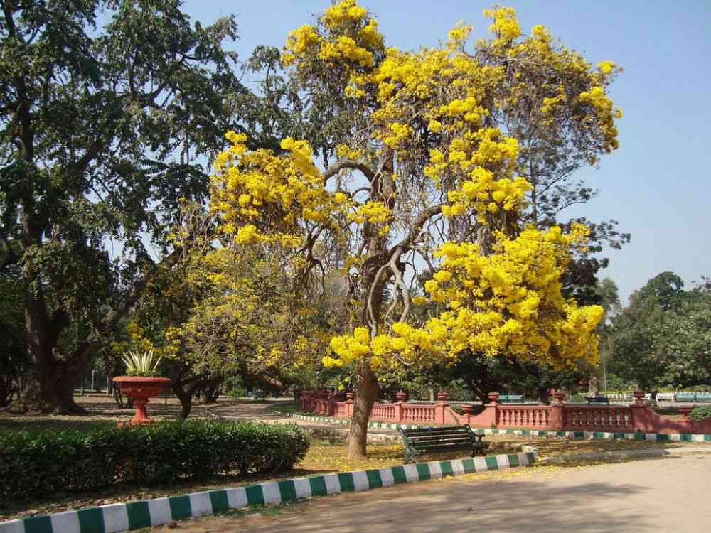 A tabebuia growing in Bengaluru's Lalbagh botanical garden. Photo credit: Hafiz Issadeen/Flickr [CC BY 2.0].