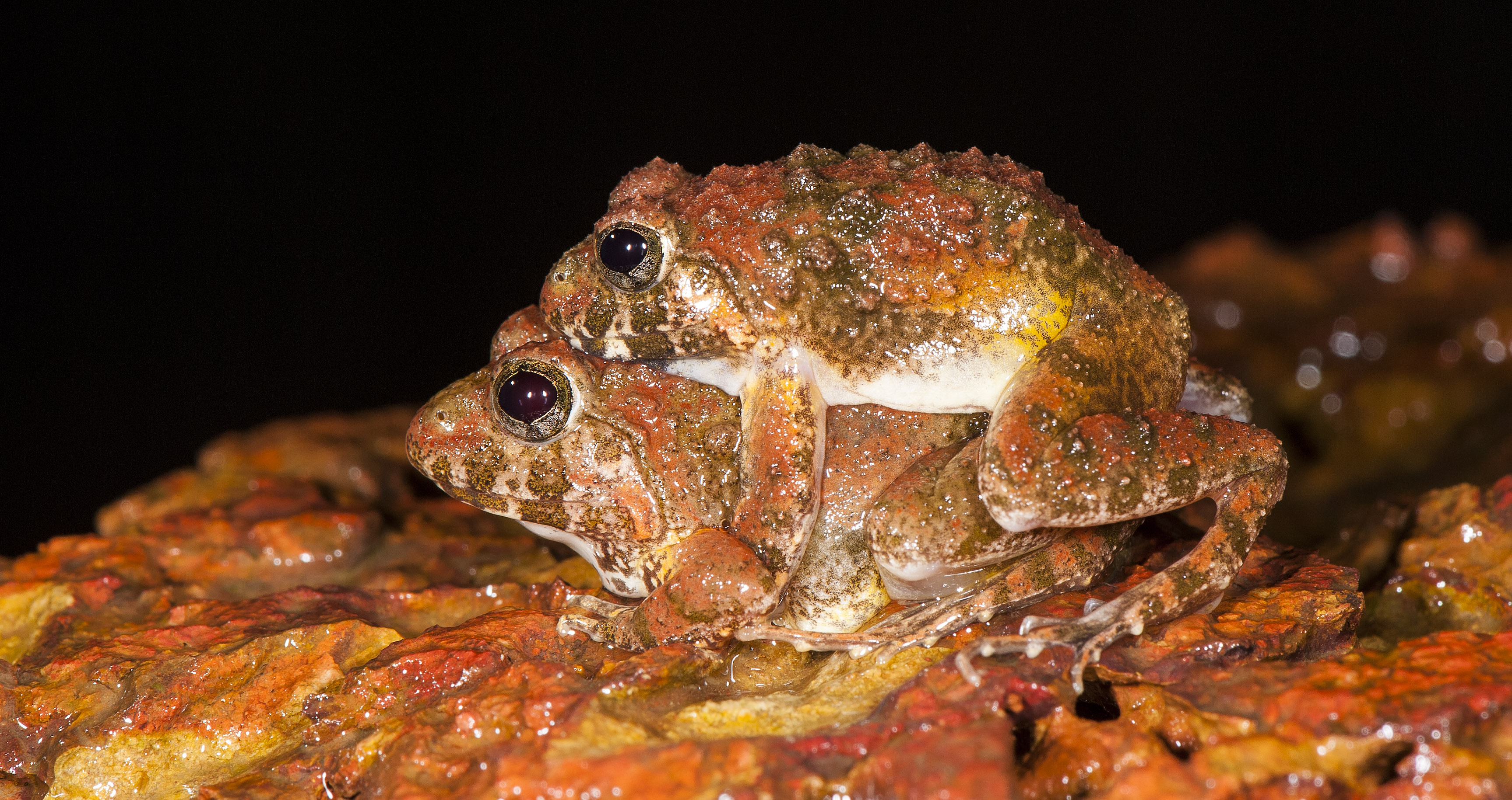 Critical Ecosystem Partnership Fund frogs, or CEPF frogs mating. (Photo credit: SD Biju).
