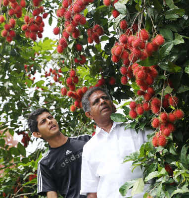 Joshy Joseph and his son inspect their Malaysian Rambutan orchard in Kottayam, Kerala. Hit by rising costs, falling prices and cheap imports from Vietnam and Malaysia, Joseph cut down his 800 rubber trees in 2014. Rubber is important to Indian manufacturing, but without compensating duties on imports, thousands of farmers have abandoned it.