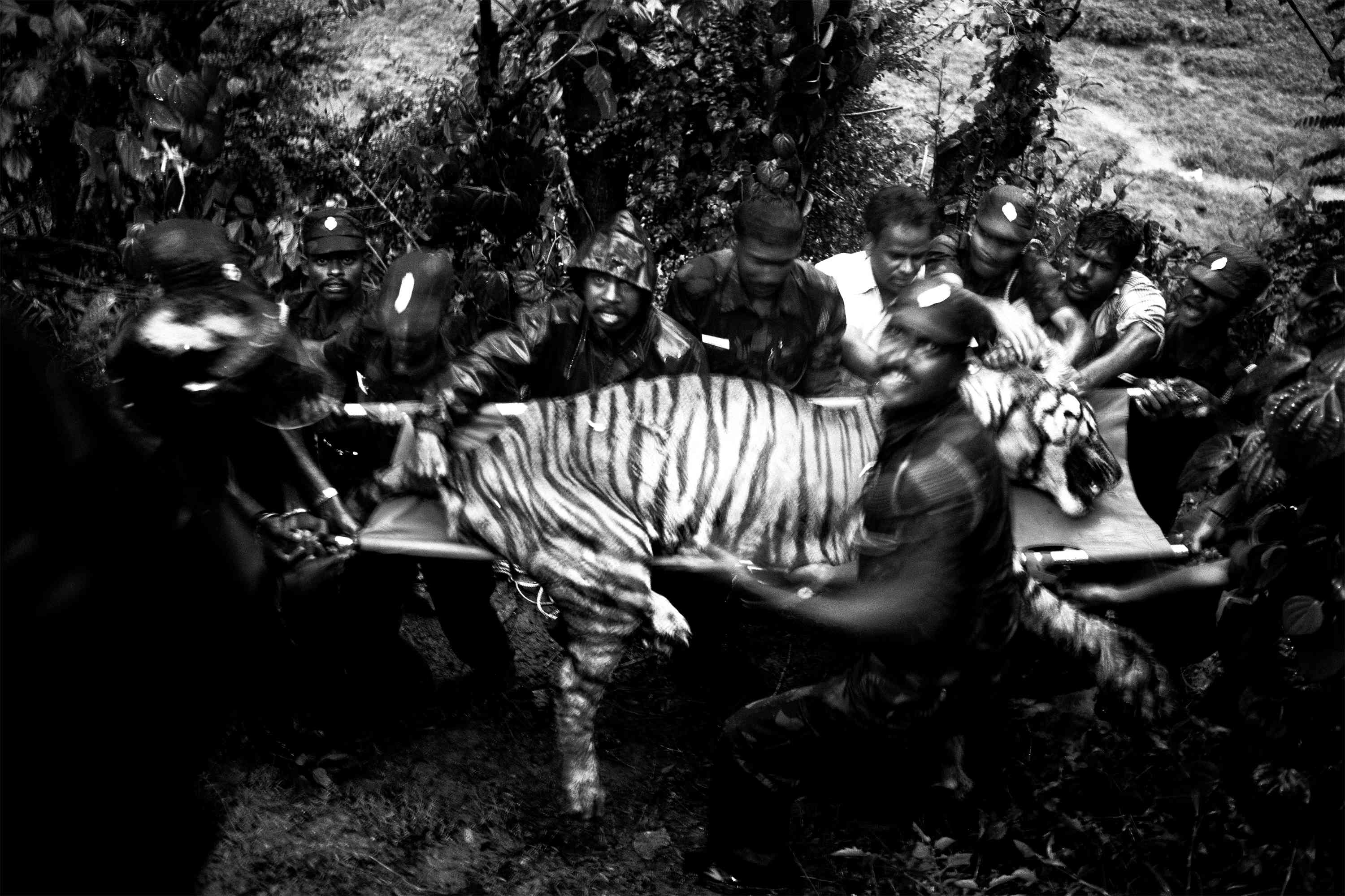 """'Out Cold' by Senthil Kumaran captures a tiger being rescued by forest department officials near the Anamalai Tiger Reserve, Tamil Nadu. """"He arrived to a scene of pandemonium – a wounded tiger cowering in fear, with a mob of five hundred village men armed with sticks and stones closing in on it."""" said the press note. """"Tragedy was averted by the quick response of the Forest Department team, whose members risked their lives to somehow control the crowd long enough to tranquillise the cat."""" The tiger, extinct in many parts of the world, is classified as endangered by the IUCN red list."""