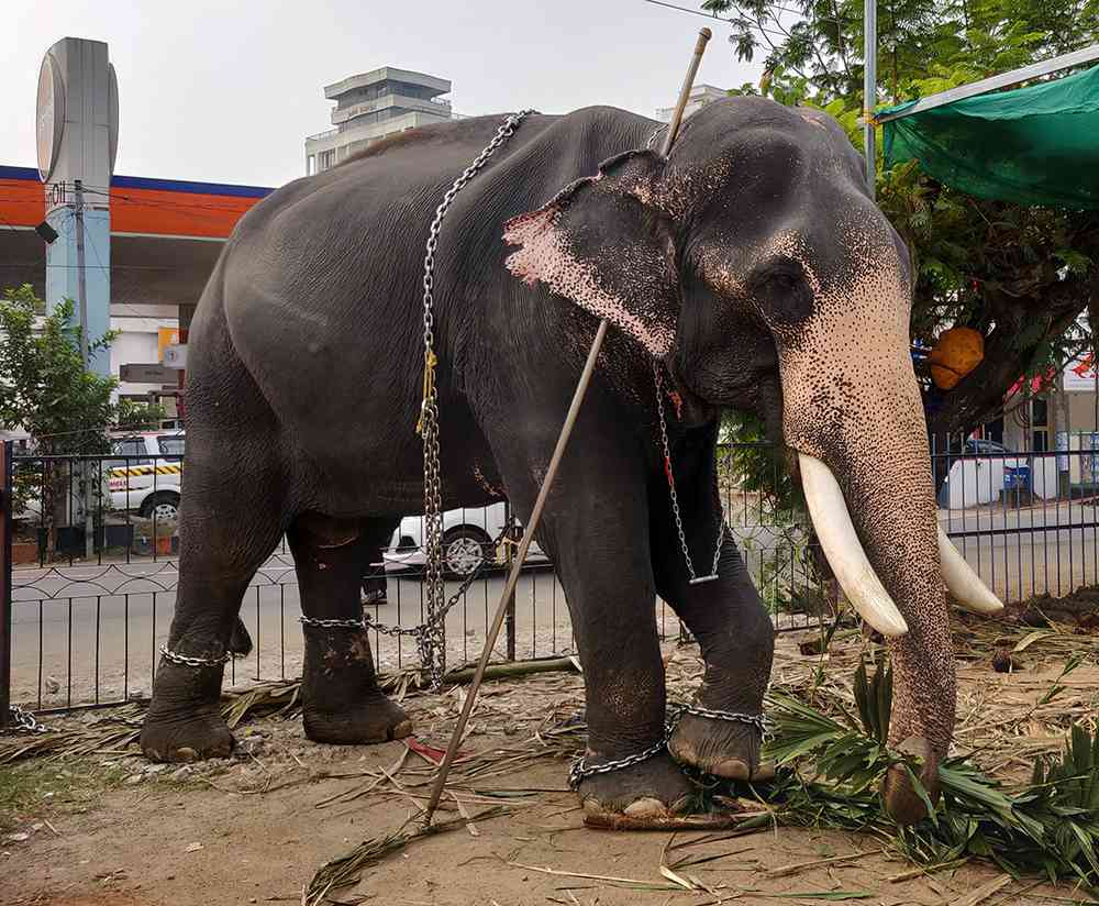 An elephant at a temple festival venue. (Photo credit: TA Ameerudheen).