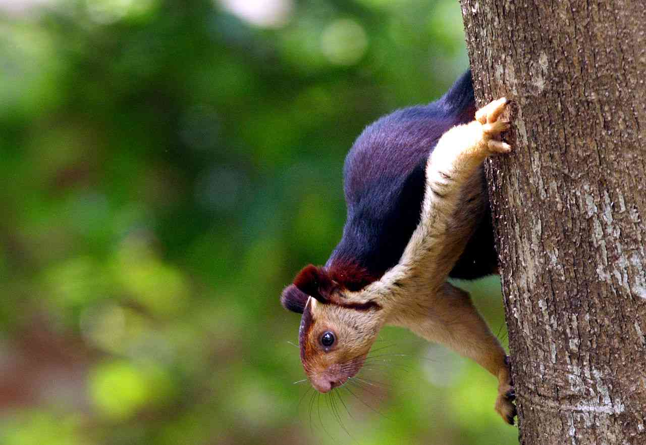 The Indian giant squirrel(Ratufa indica) is another species of giant squirrel found in India. Researchers have observed cases of mating between the grizzled giant squirrel and the Indian giant squirrel. Photo Credit: N.A.Nazeer/Wikimedia Commons [Licensed under CC BY 3.0]