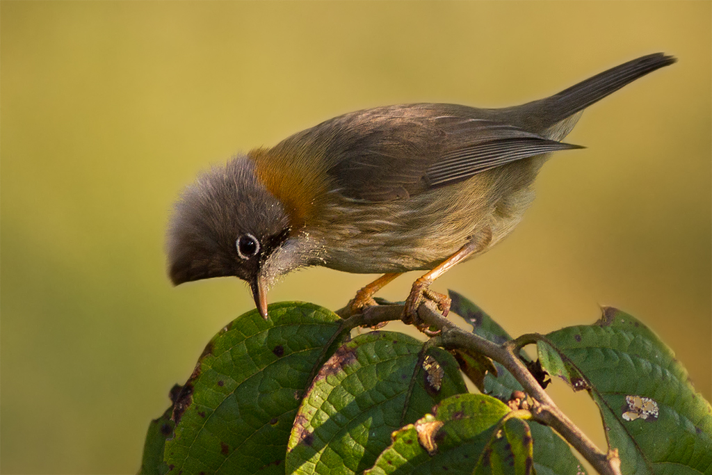 A Whiskered Yuhina at Eaglenest Wildlife Sanctuary, Arunachal Pradesh, India. Photo credit: Wikimedia Commons [Licensed under CC-BY-SA-2.0]
