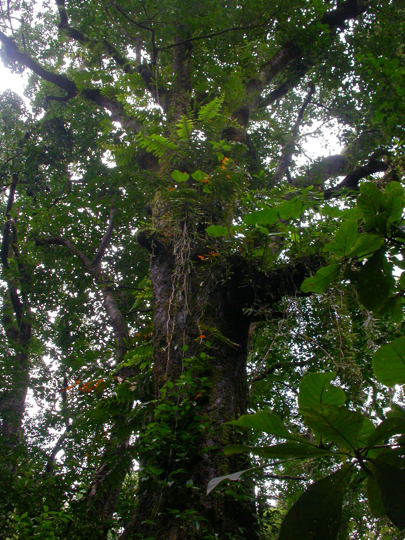 Forest tree with creepers and epiphytes.