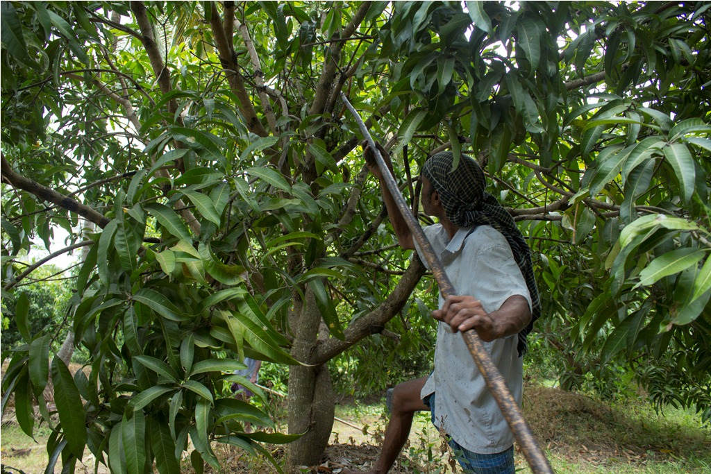 A worker picks mangoes at Vijayan's orchard. Photo credit: Meenakshi Soman