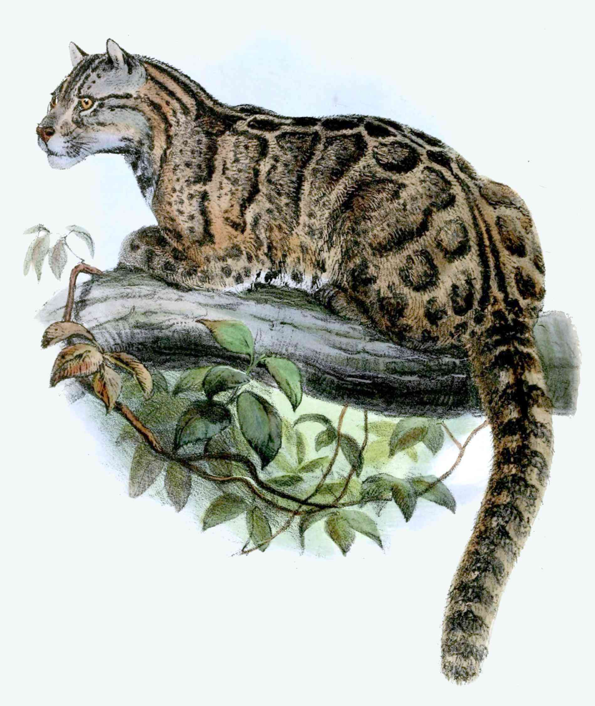 The Formosan clouded leopard is endemic to Taiwan and considered extinct but eyewitness accounts keep speculation alive. Photo credit: Wikipedia