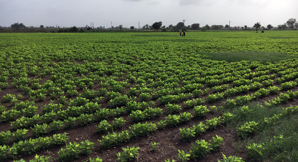 A field of groundnut in Gujarat. Photo credit: M Rajshekhar