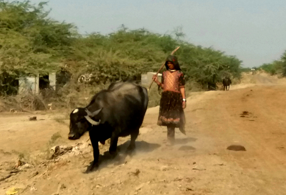 A Maldhari woman grazing her buffalo.
