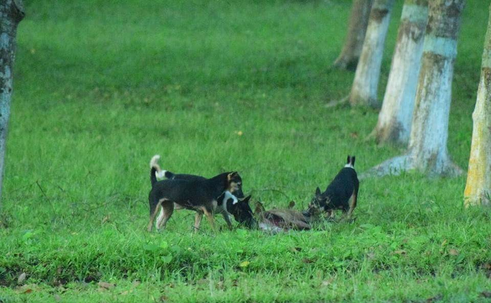 A pack of dogs predating on a hog deer across the highway adjoining Kaziranga NP. Photo credit: Arif Hussain and Dipen Nath of Aaranyak.