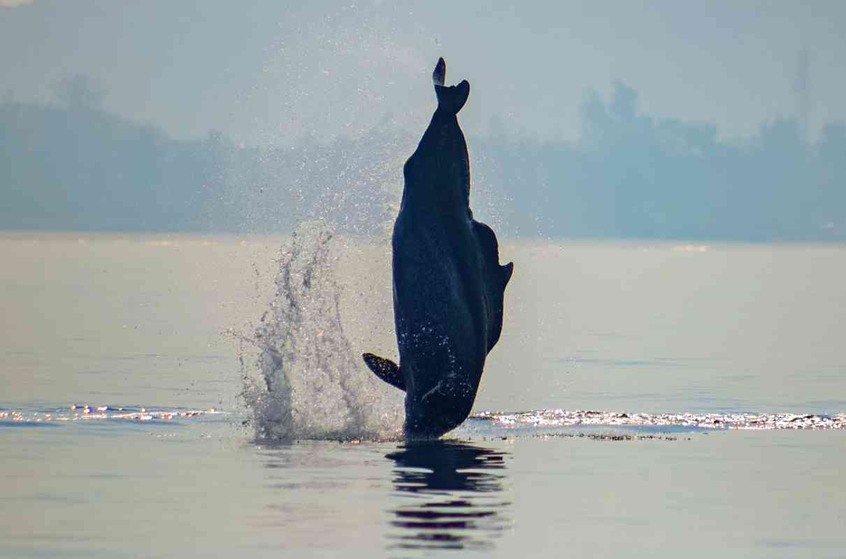 An Indian Ocean humpback dolphin nose-diving into the sea. Acoustic data from marine animals is giving us more information about their lives, behaviour and their habitats. Photo Credit: Sarang Naik