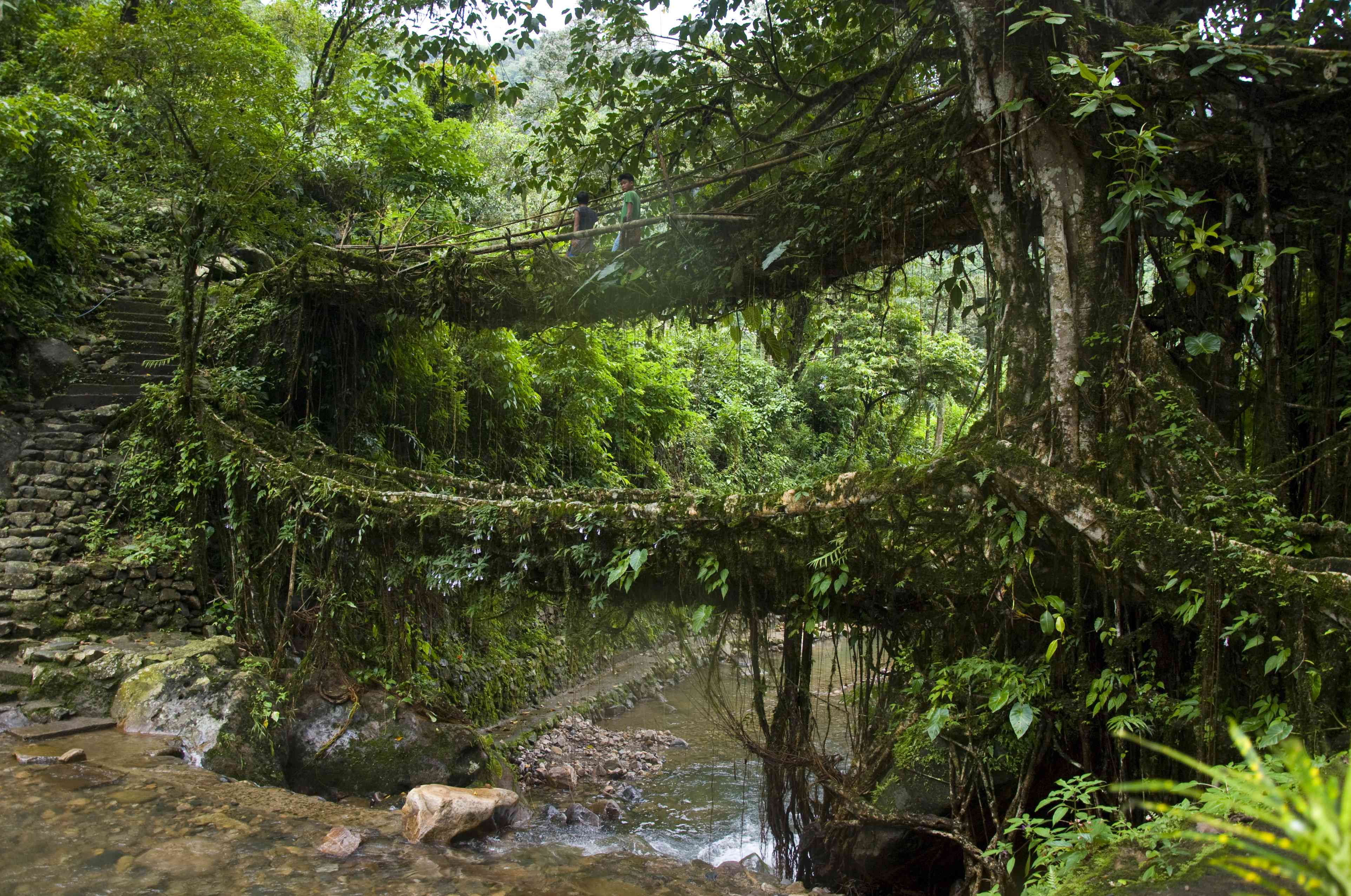The famous living root bridge of Meghalaya, near the place where Monopterus rongsaw was found. Photo Credit: Rachunliu G Kamei