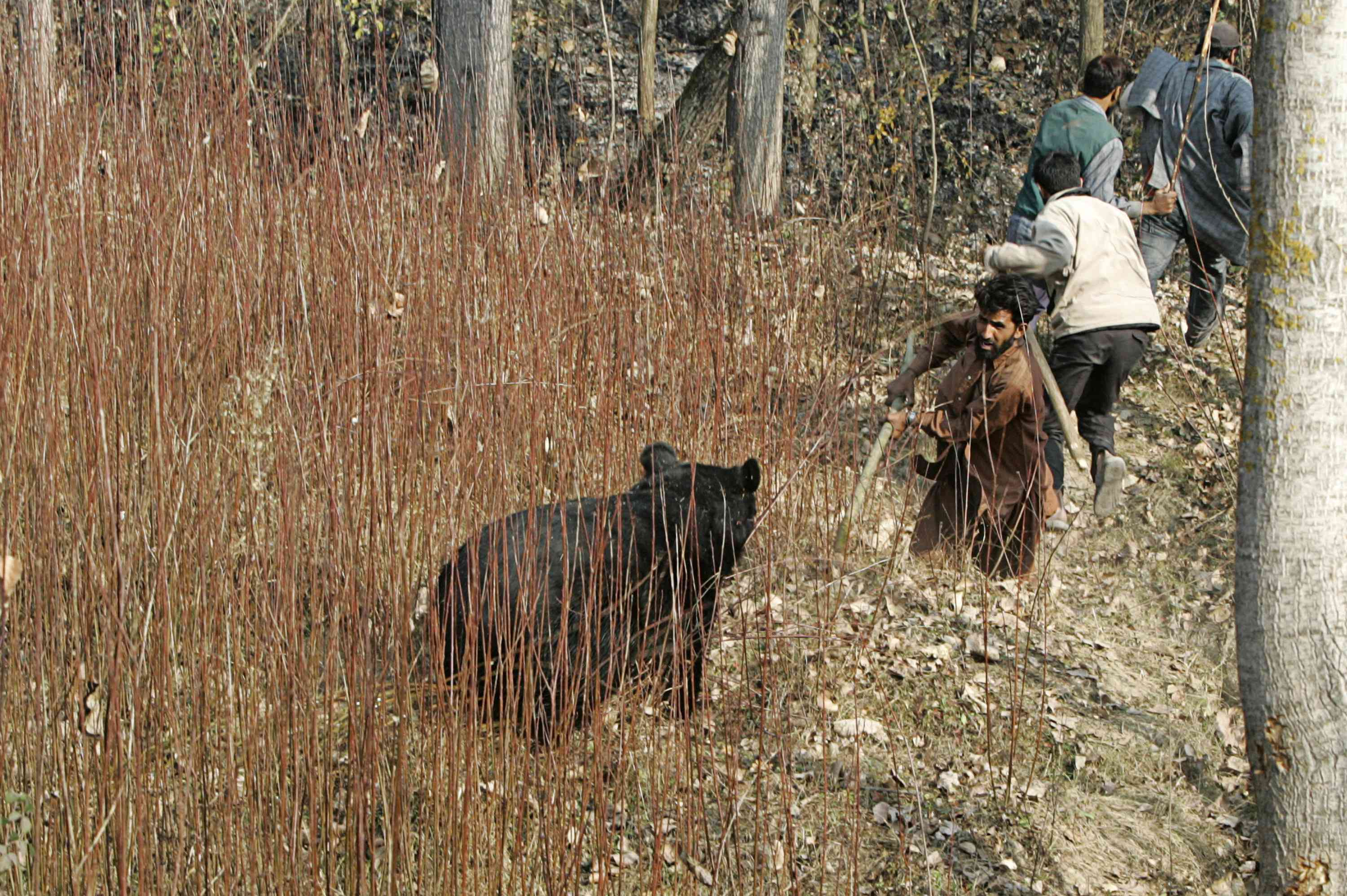 An Asiatic black bear is confronted by a local villager, who was with a group of men hunting the bear, near the village of Gasoo on the outskirts of Srinagar in November 2007. (Photo credit: Reuters/Danish Ismail).