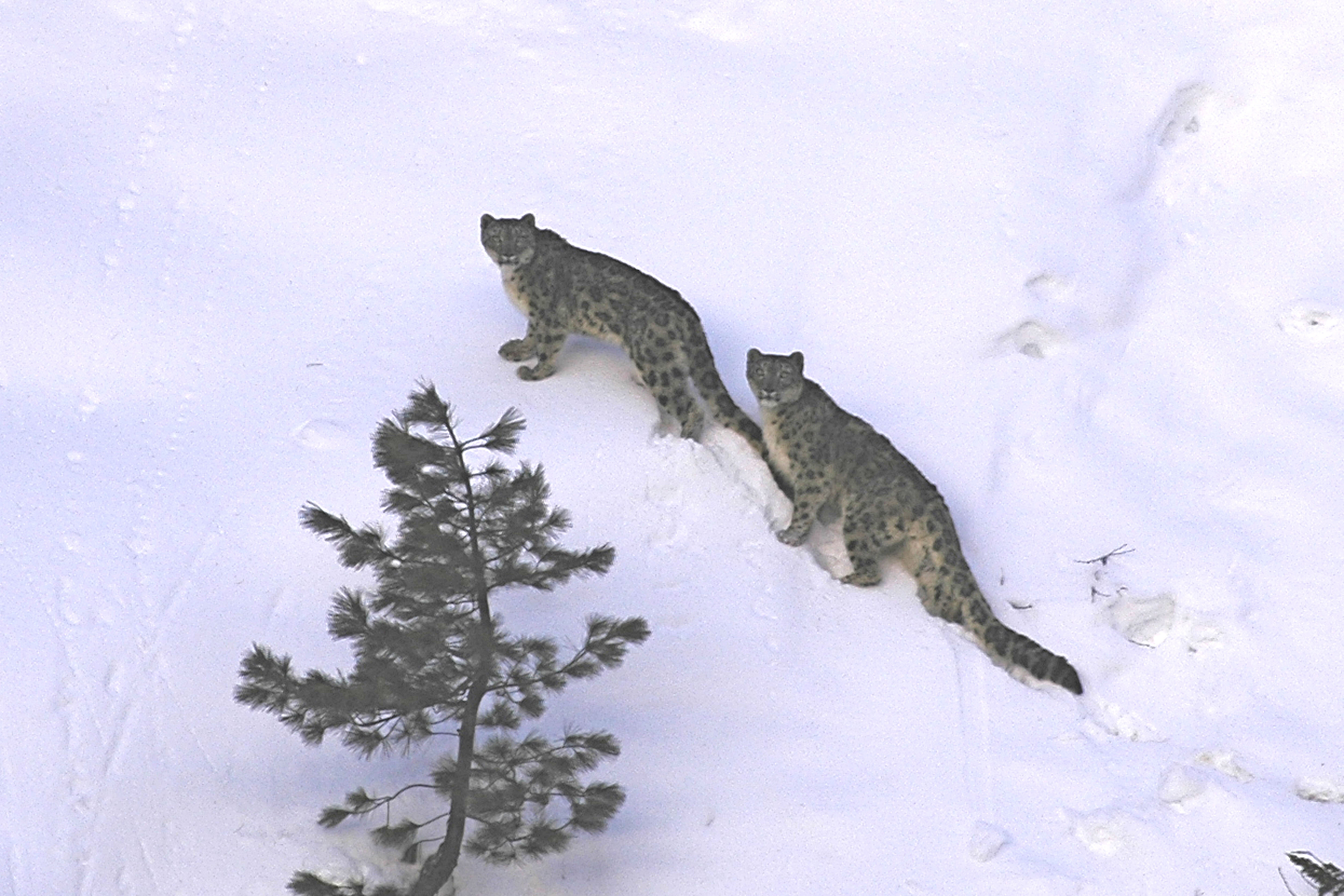 A rare sighting of a snow leopard pair. Photo Credit: Snow Leopard Conservancy