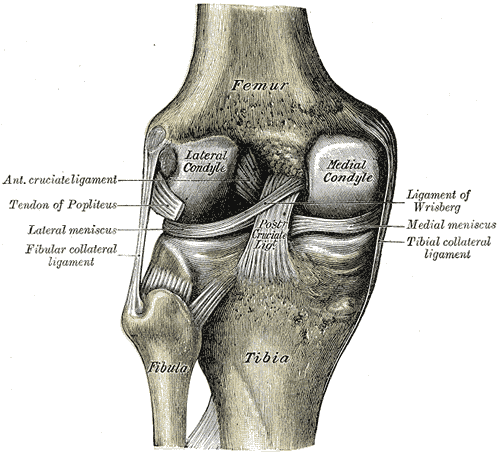 Left knee-joint from behind, showing interior ligaments. (Image: Wikipedia/Anatomy of the Human Body - Henry Gray/Henry Vandyke Carter)