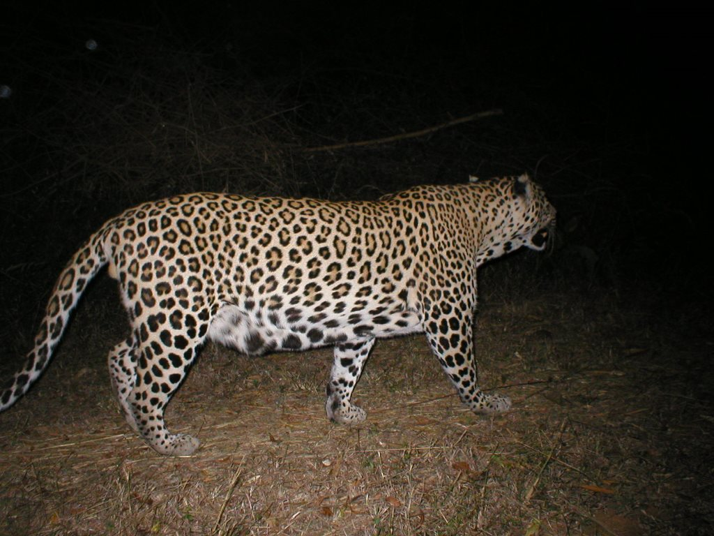 A leopard moved into our forest.
