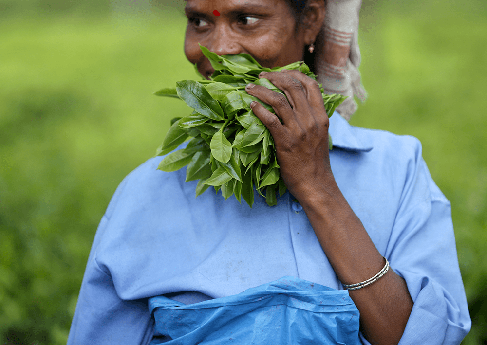 A tea garden worker holds a bunch of plucked tea leaves at an estate in Jorhat. Credit: Ahmad Masood/Reuters
