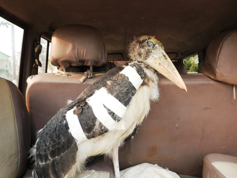 A Greater Adjutant stork just after it fell from a tree, was rescued and given preliminary medical treatment. It had a broken wing and a head injury. Image Credit: Purnima Barman
