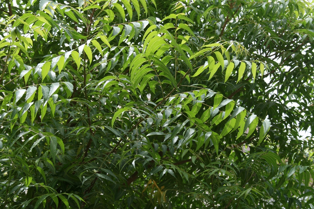 Neem tree. Photo credit: Thendral Muthusami/Wikimedia Commons [Creative Commons Attribution-Share Alike 3.0 Unported license]