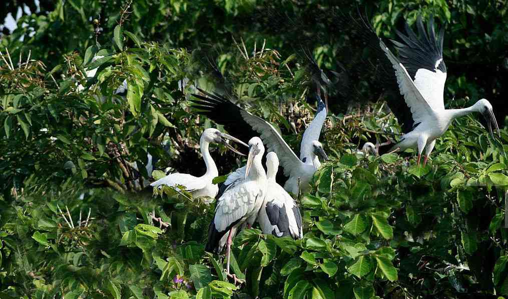 Asian Open Billed storks in the trees near the paddy fields. Photo credit: Moushumi Basu.