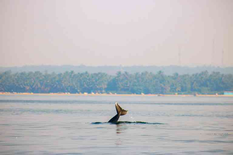 An Indian Ocean humpback dolphin (Sousa plumbea) rising above the surface near the coast in Malvan, Maharashtra. Photo Credit: Sarang Naik