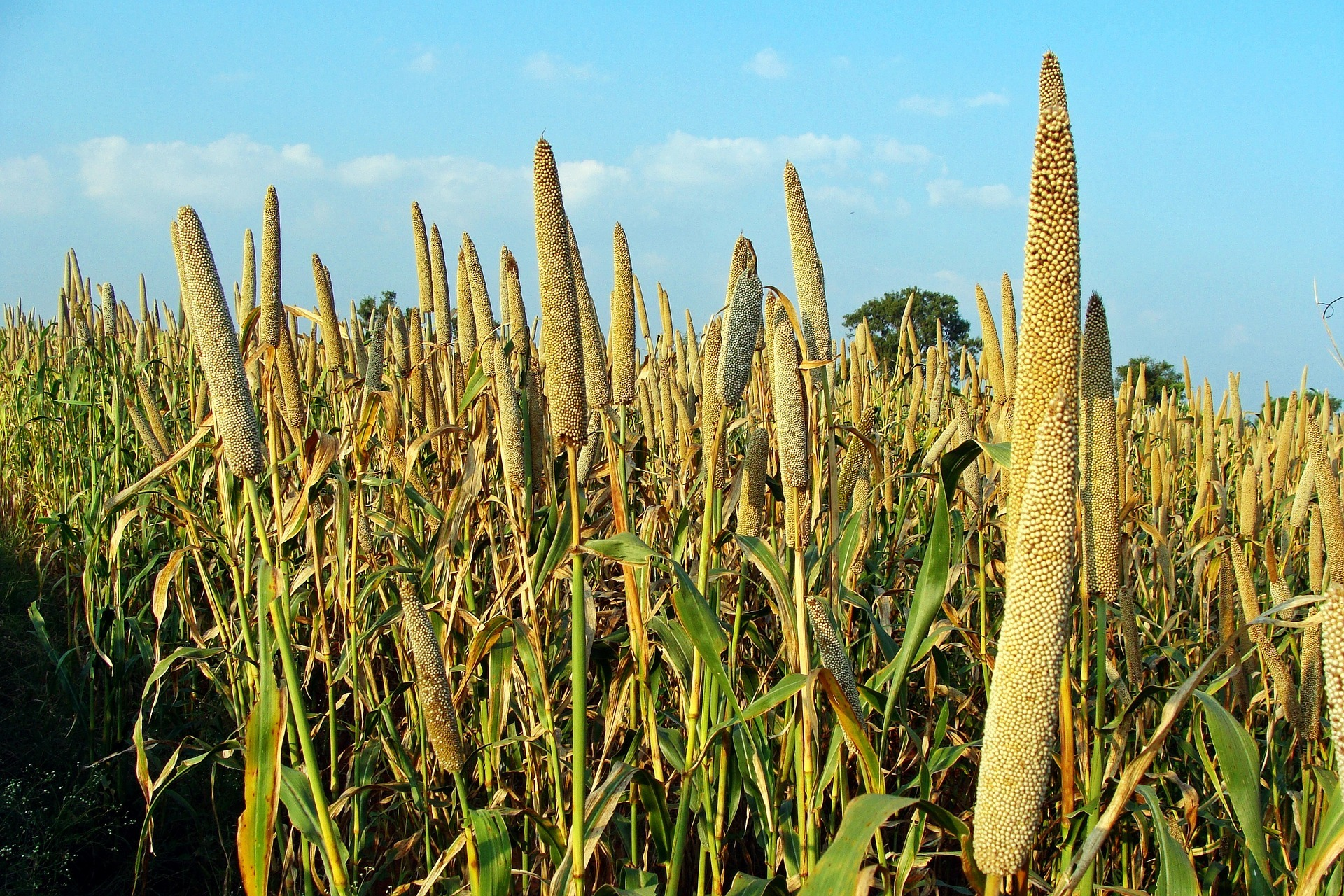 A millet field. Photo credit: Pixabay