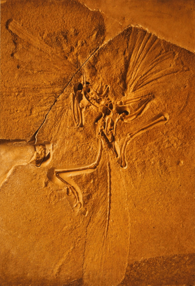 Archaeopteryx NHM. Source: Author provided