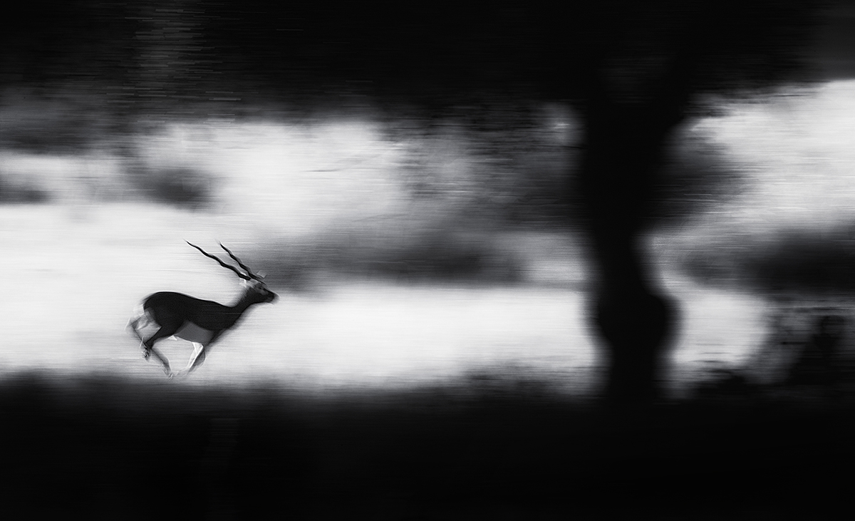 'Predator Alert', by Swapnil Deshpande. A blackbuck sprints after being warned by a deer about a predator lurking in the jungles of Kanha in India. © Swapnil Deshpande, India, Shortlist, Open, Wildlife (Open competition), 2018 Sony World Photography Awards.