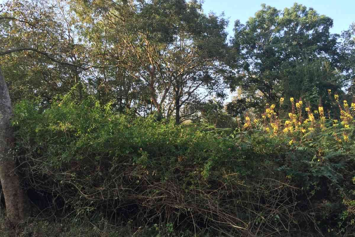 Heavily Lantana dominated understory in the BRT tiger reserve. Photo credit: Abi Vanak.