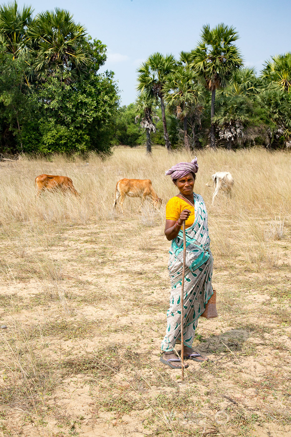 A herder grazes her goats and cattle on grasslands near the Bay of Bengal. The land would have served as a coal storage area if the Cheyyur Ultra Mega Power Plant was built. Photograph by, Dhruv Malhotra © Wilson Center/Circle of Blue
