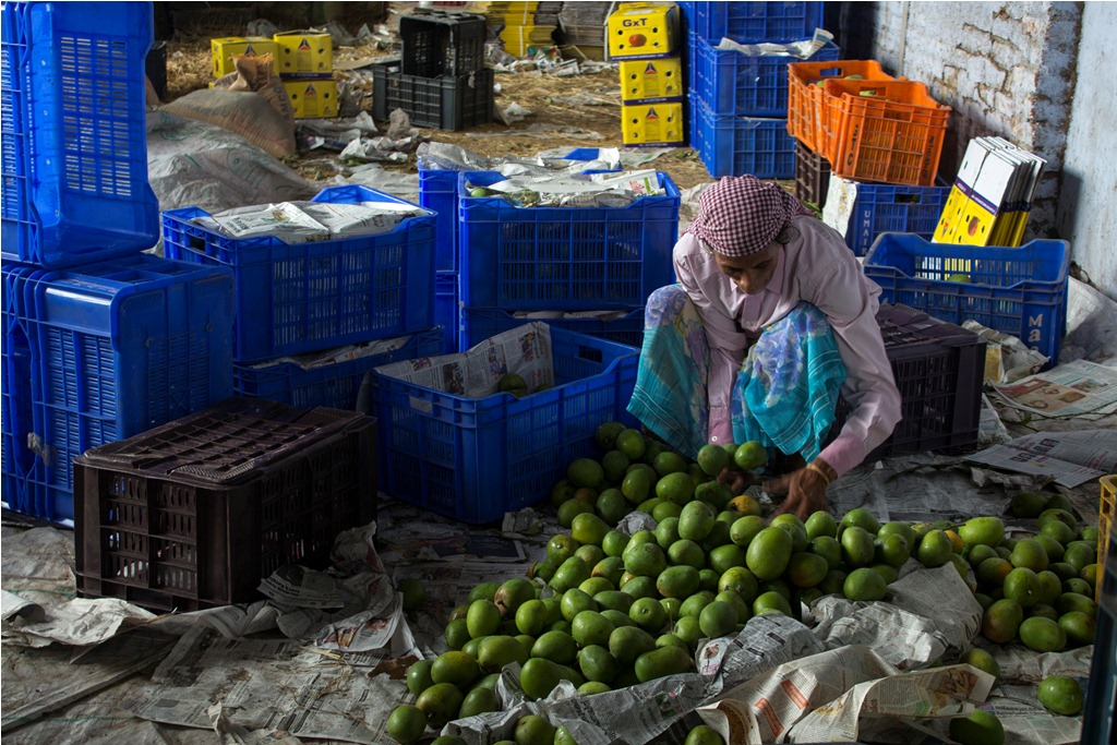 Mangoes get sorted at a warehouse. Photo credit: Meenakshi Soman