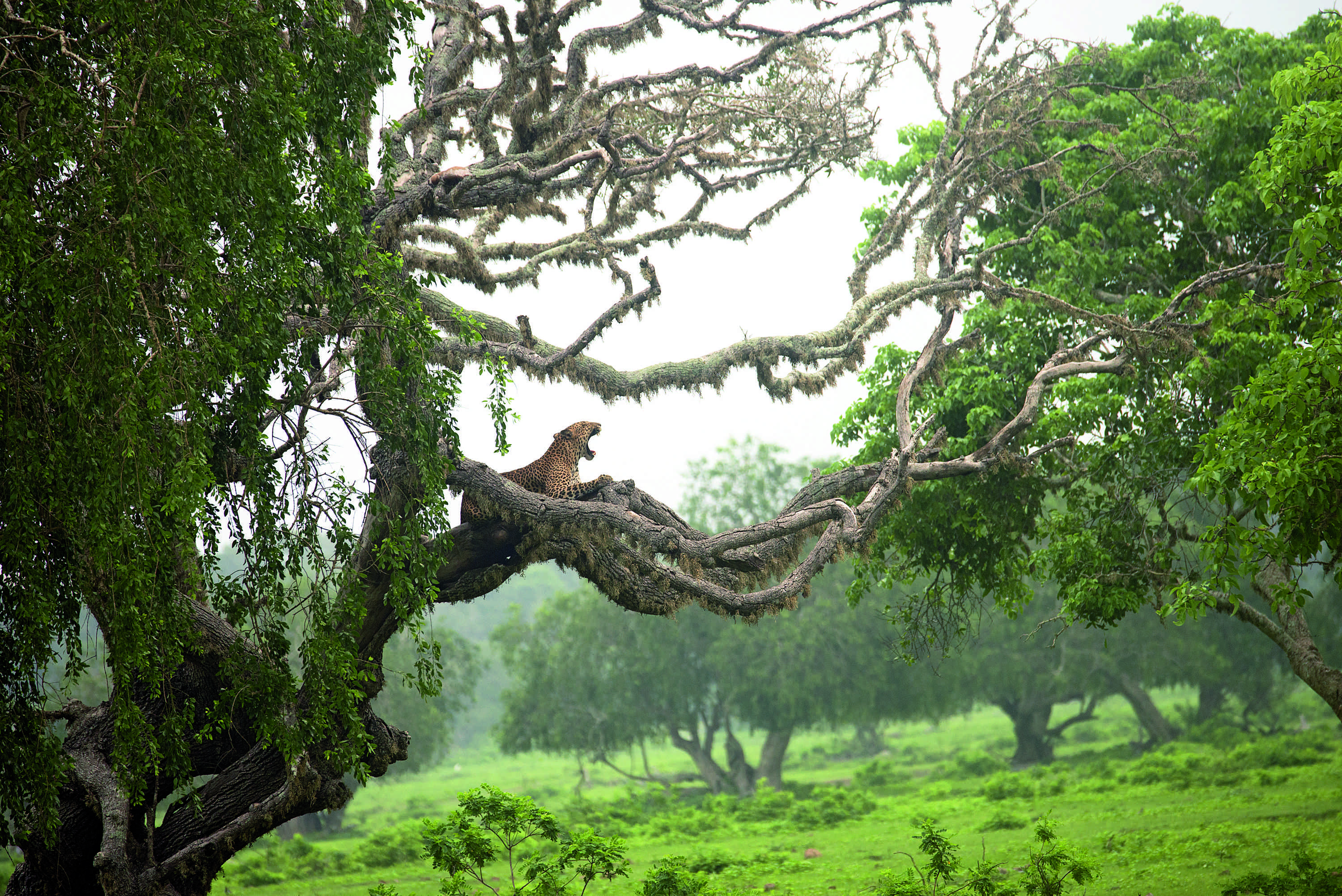 """'At His Leisure' by Pasan Senevirathne shows a leopard awaking from his nap at Sri Lanka's Yala National Park. """"The unparalleled grace of the leopard and the delicate embellishments of moss on the tree make for an image that exudes ease and power,"""" said the Foundation."""