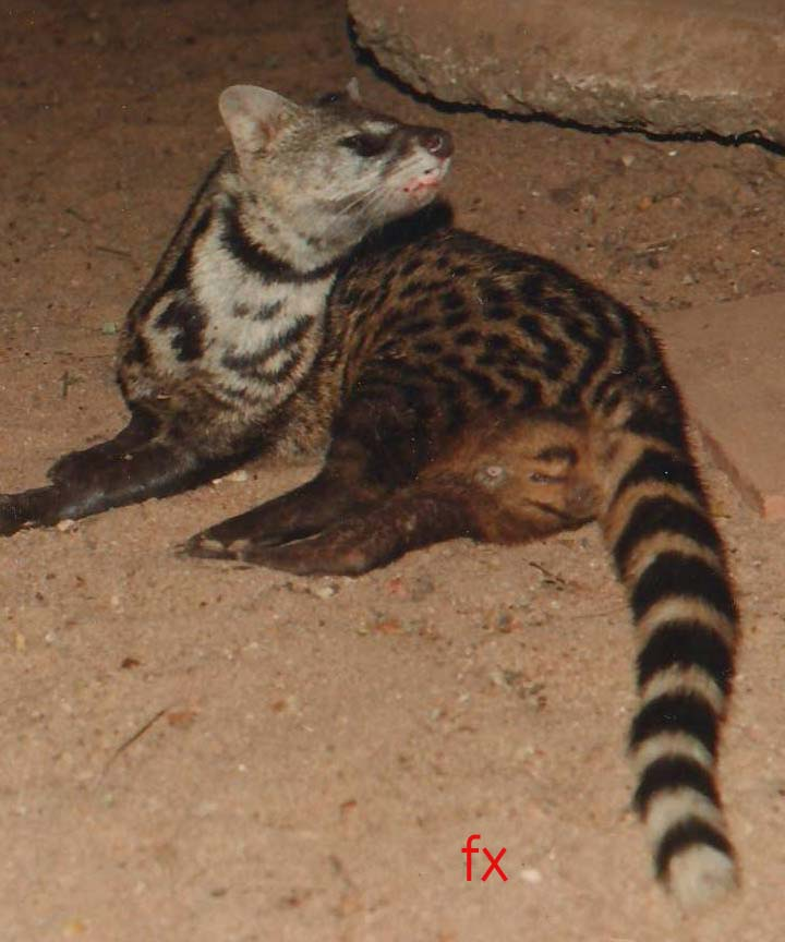 Sniffer male civet. Credit: Francis Xavier