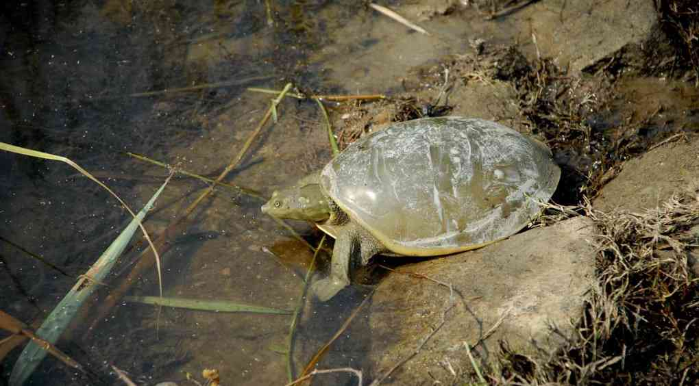 An Indian flapshell turtle (lissemys punctata) at the Yamuna biodiversity park. Photo credit: Faiyaz Khudsar