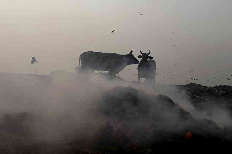 Cows walk past smoke rising from the Bhalswa landfill on October 29. (Photo credit: Sajjad Hussain/AFP).