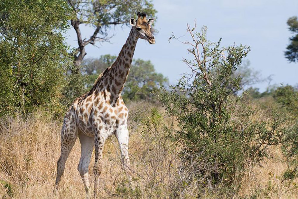 Giraffes are a graceful, colourful sight in Kruger. Photo credit: Justin Catanoso for Mongabay