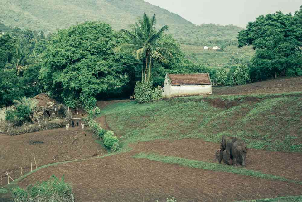 On the outskirts of Coimbatore, Tamil Nadu, villagers share the landscape with elephants from the Thadagam Reserve Forest. Though there have been fatalities on both sides, tolerance is still high and this individual elephant is recognised and lives comparatively peacefully alongside its human neighbours. Photo credit: Harishvara Venkat