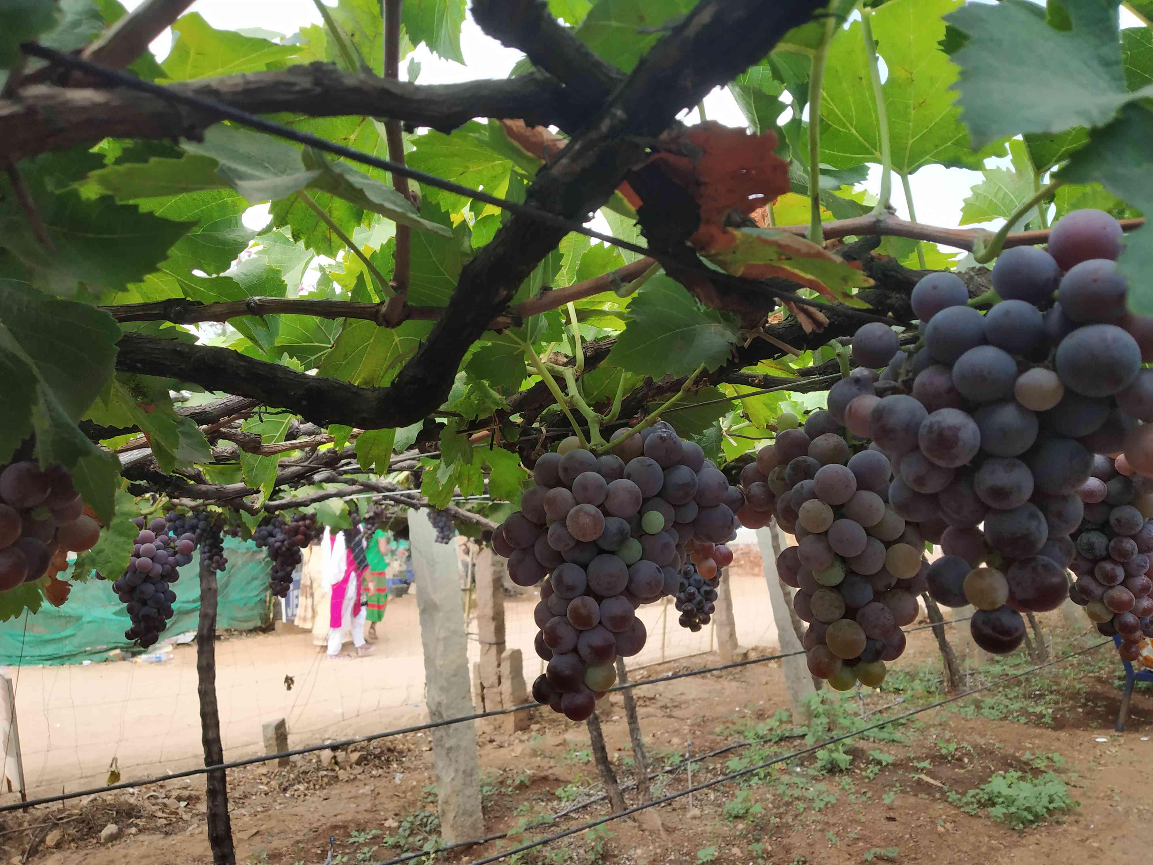 A grape orchard in Cumbum. Photo credit: Sruthisagar Yamunan