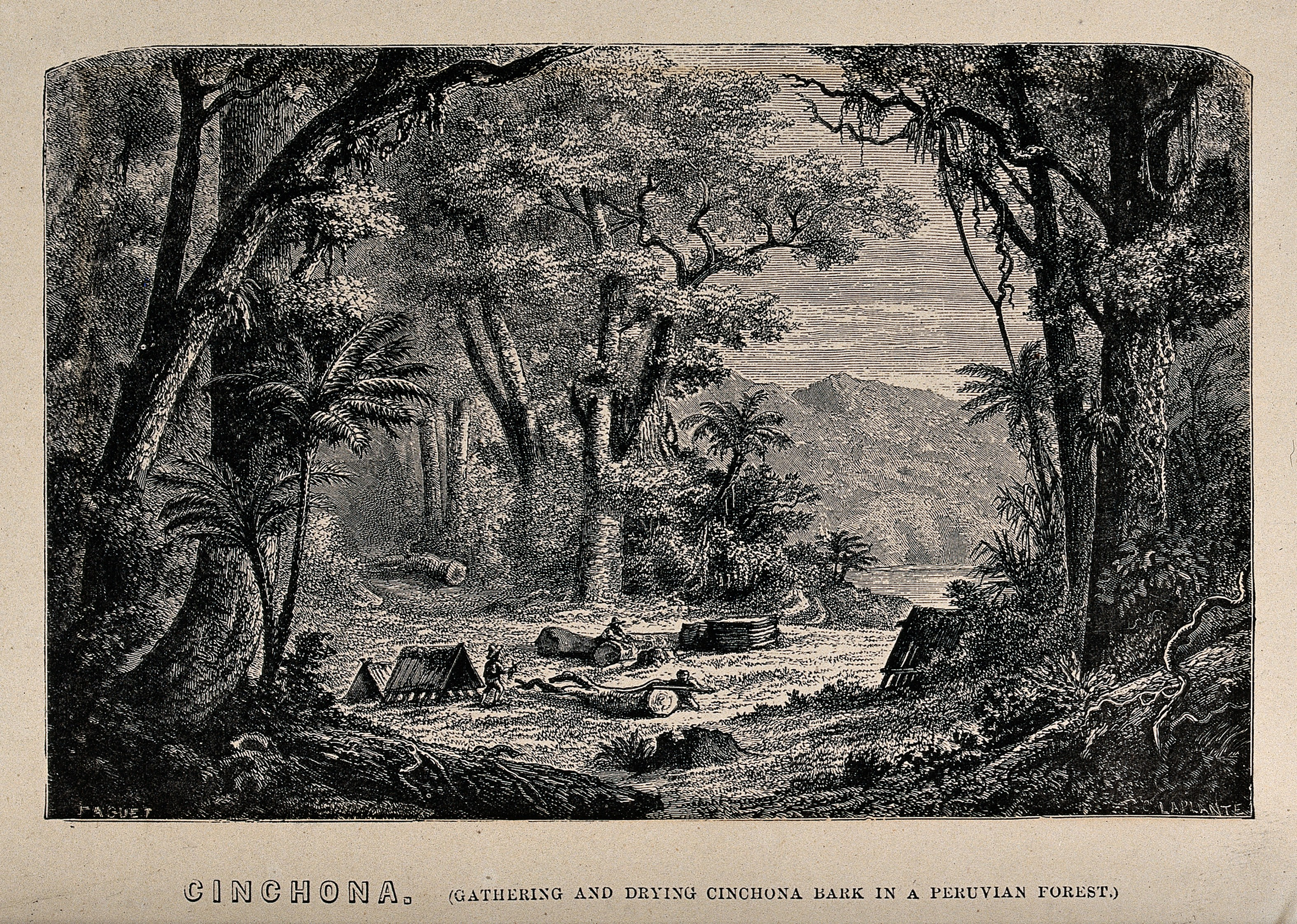 The gathering and drying of cinchona bark in a Peruvian forest – wood engraving by C Leplante (1867) (Image: Wellcome Images/Wikimedia Commons)