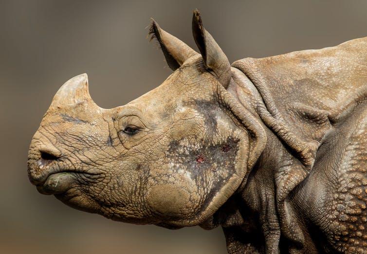 An Indian One-horned Rhinoceros. Photo Credit: Via Pixabay